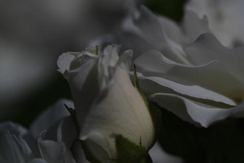 4 薔薇ももうすぐ終わる.JPG
